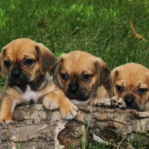 Available Puppies Puppy Place