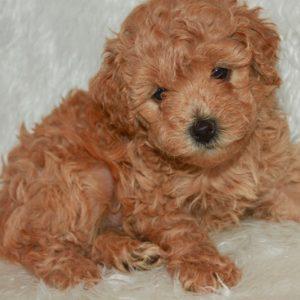 Wiggles-Miniature Poodle