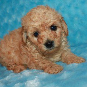 Wrangler- Miniature Poodle