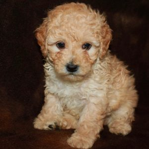 Wally- Miniature Poodle