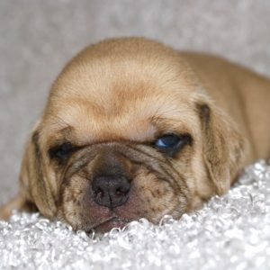 Holly- Puggle