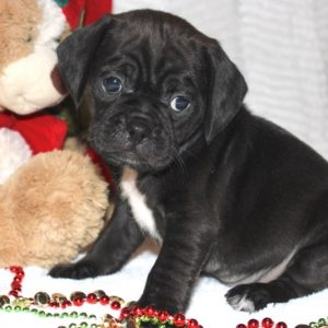Roxie- Puggle