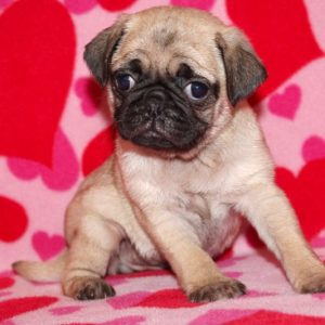 Zoey- Pug