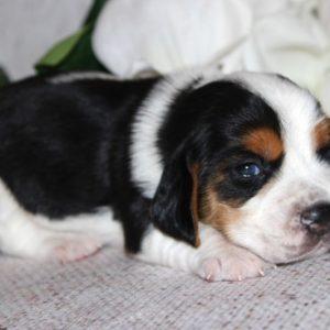 Kiwi-Beagle