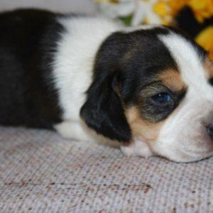Keegan-Beagle