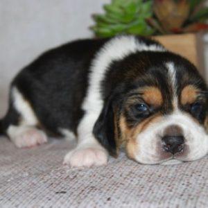 Kahlua-Beagle