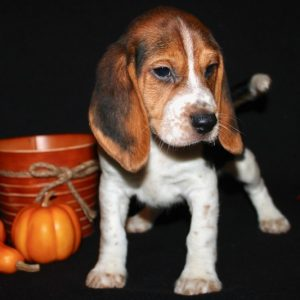 Aspen- Beagle