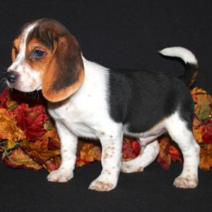 Amaretto- Beagle