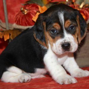 Amos- Beagle