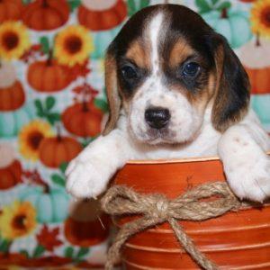 Amaretto- Beagle