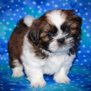 Copper- Shih Tzu