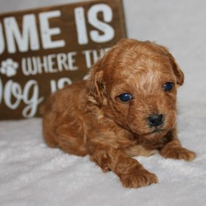 Java-Toy Poodle