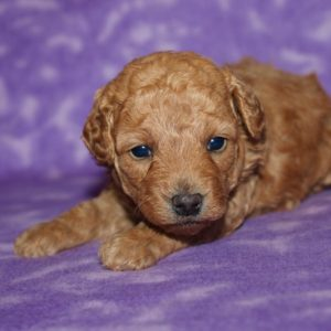 Jada- Toy Poodle